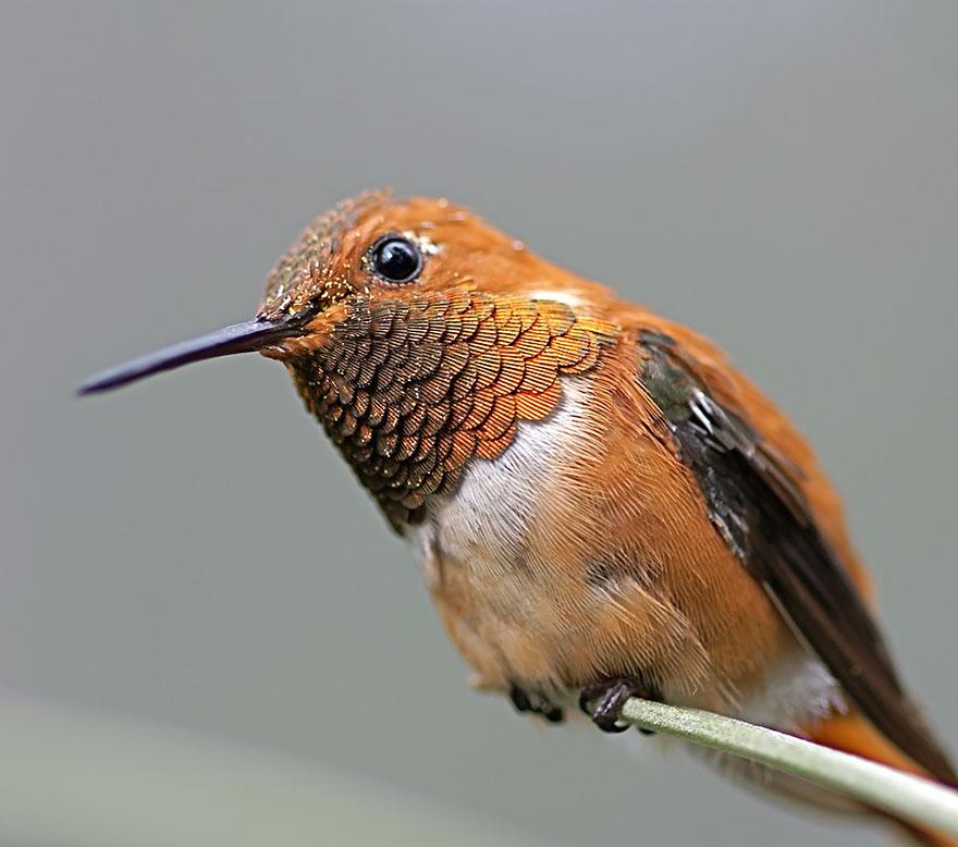 Hummingbird Cute-beautiful-hummingbird-photography-8
