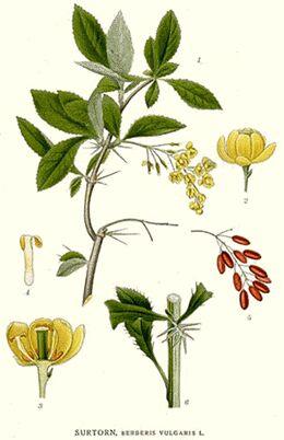 Alternativna medicina Berberis2