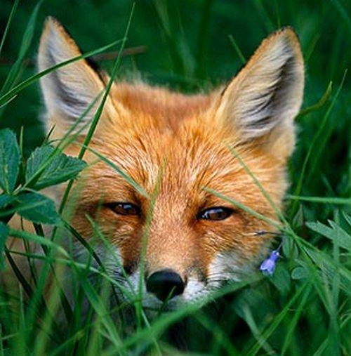 Forumaš iznad u liku životinje - Page 2 Fox-300