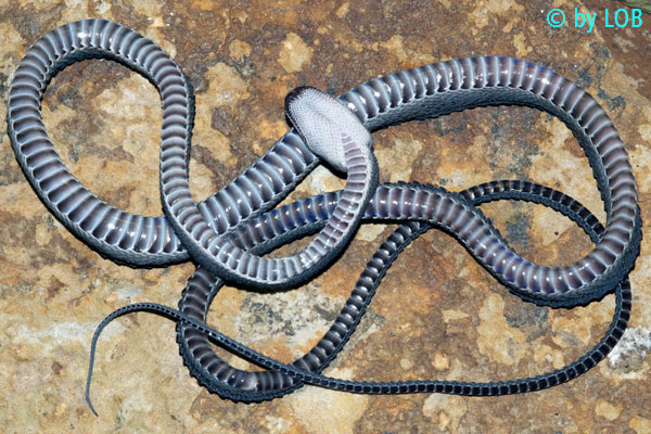 Xenodermus javanicus Xenodermus-javanicus-003-f