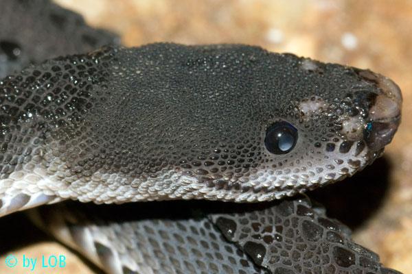 Xenodermus javanicus Xenodermus-javanicus-009-f