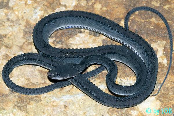 Xenodermus javanicus Xenodermus-javanicus-010-f
