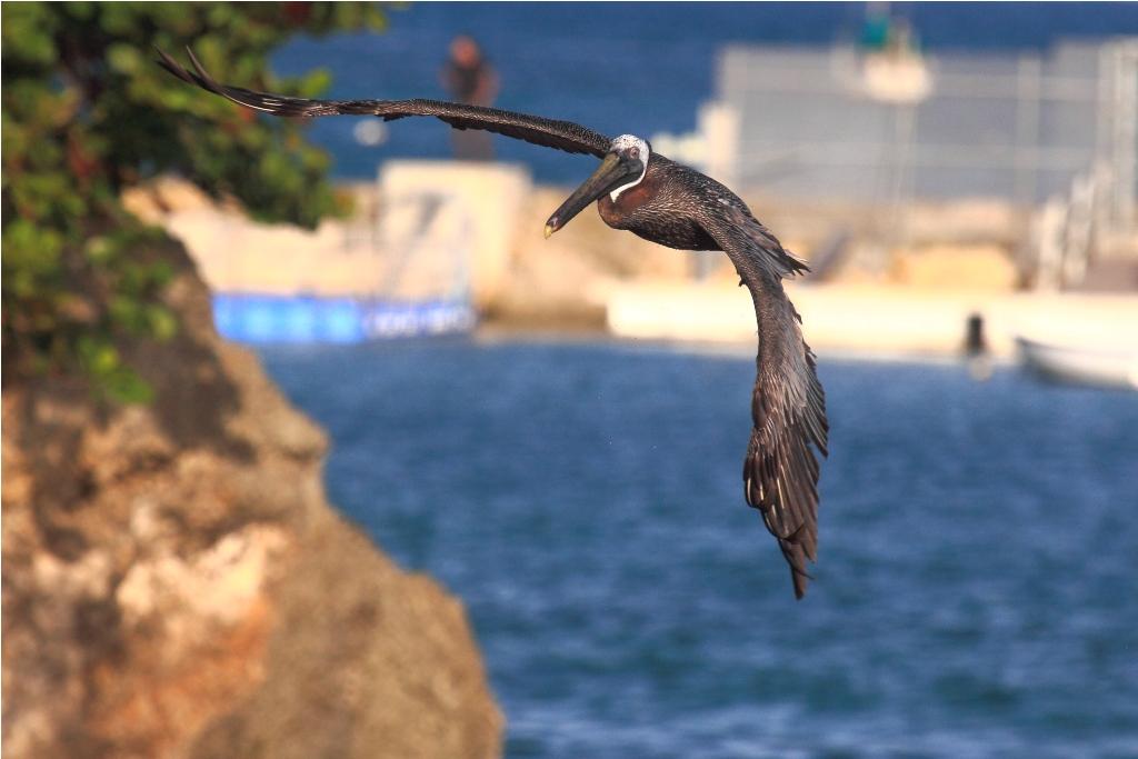 Grand Gosier (Pélican des Antilles) GG5