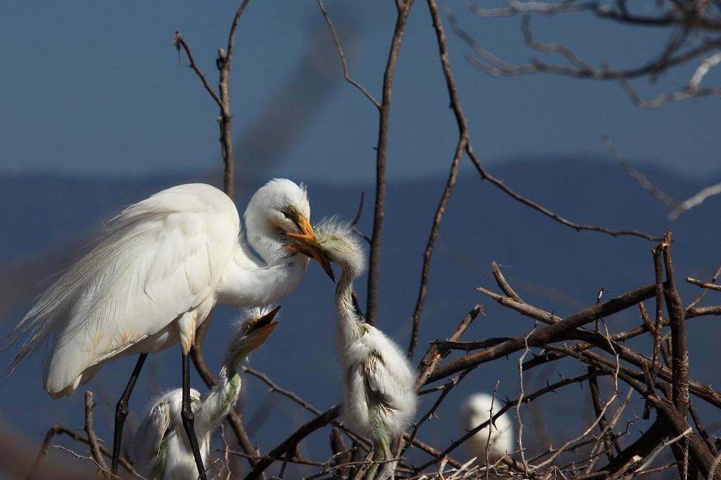 Dans le nid avec des grandes aigrettes IMG_6692-1024