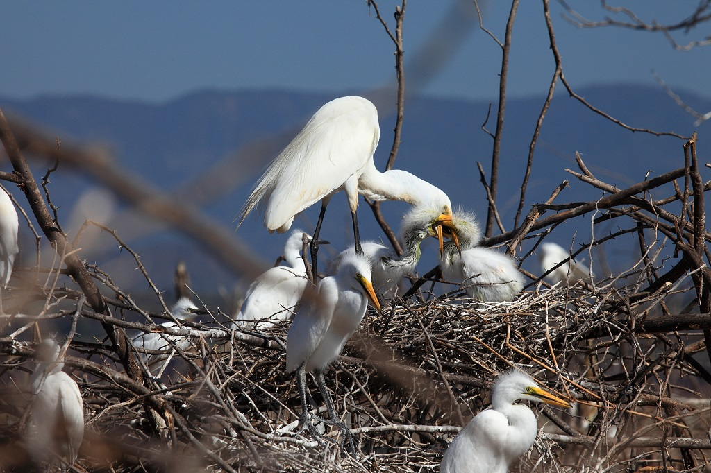 Dans le nid avec des grandes aigrettes IMG_6697-1024