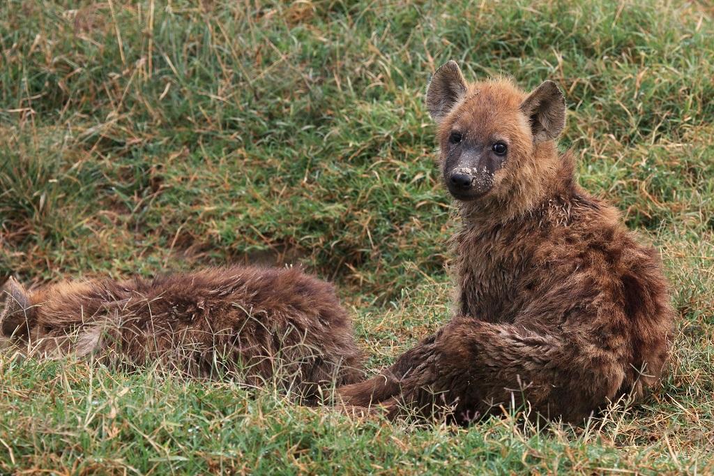 Jeune Hyène IMG_7239-1024