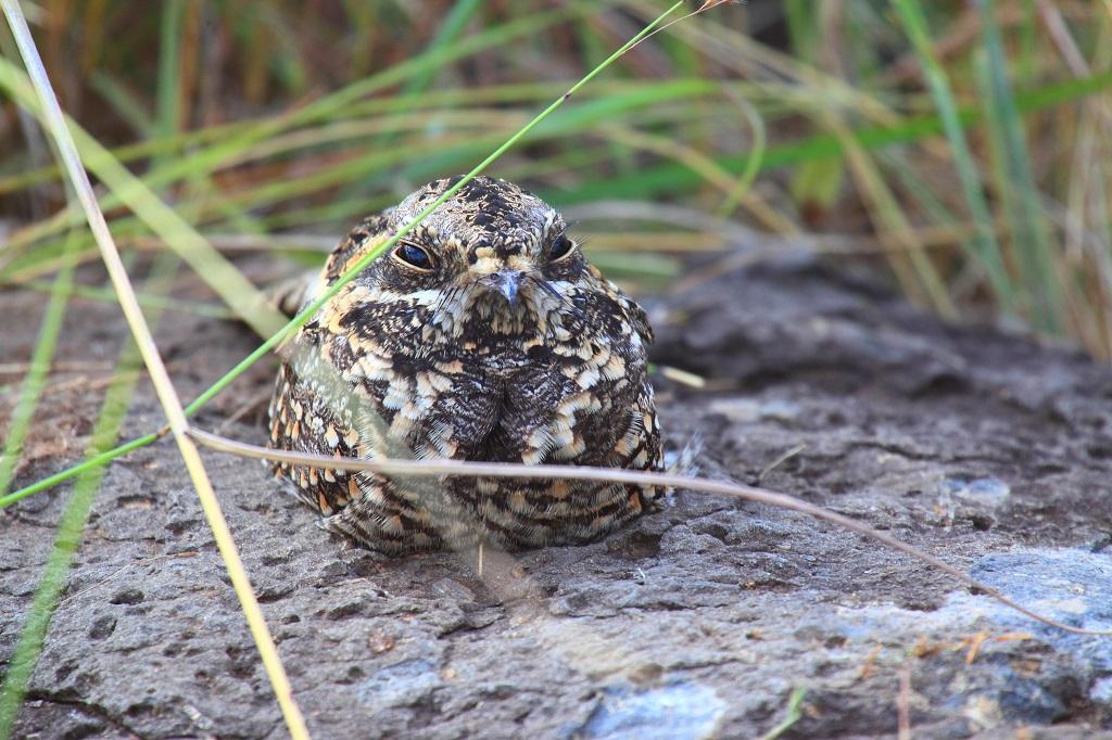 Un oiseau assez rare à photographier : l'engoulevent IMG_8515-1024