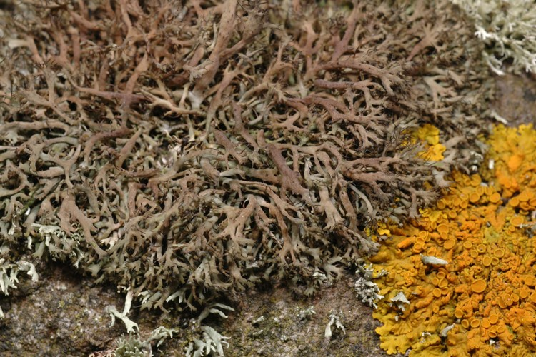 Anaptychia ciliaris Anaptychia%20ciliaris%20mam%20small
