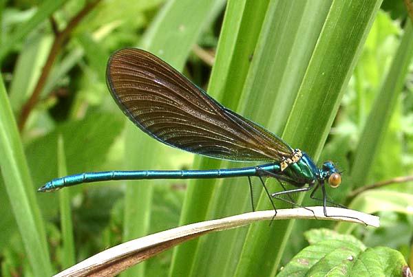Demande d'identification - ça ressemble à une libellule... Calopteryx%20virgo%20m
