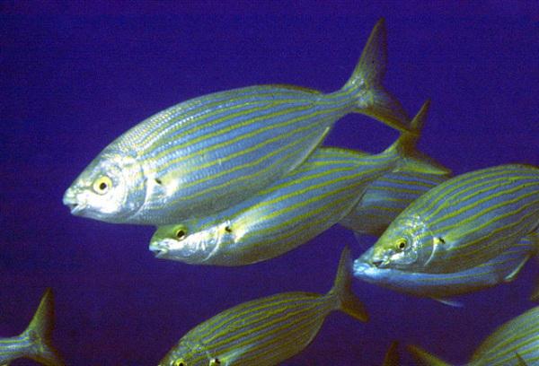 Peixe alucinógeno é encontrado na Grã-Bretanha Sarpa_salpa