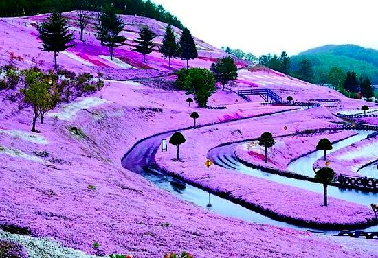 22 paisajes asombrosos. Buendiario-japon-parque-flores-rosadas-colinas-hokkaido-Higashimokoto-shibazakura-4
