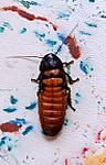 Ressam böcekler Hissingcockroach