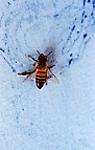 Ressam böcekler Honeybee