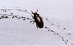 Ressam böcekler Mealwormbeetle