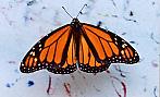 Ressam böcekler Monarchbutterfly