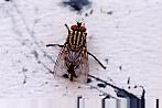 Ressam böcekler Sarcophagidfly