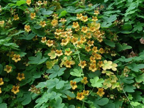 Tropaeolum - capucines vivaces Bulbargence-7519-0-86