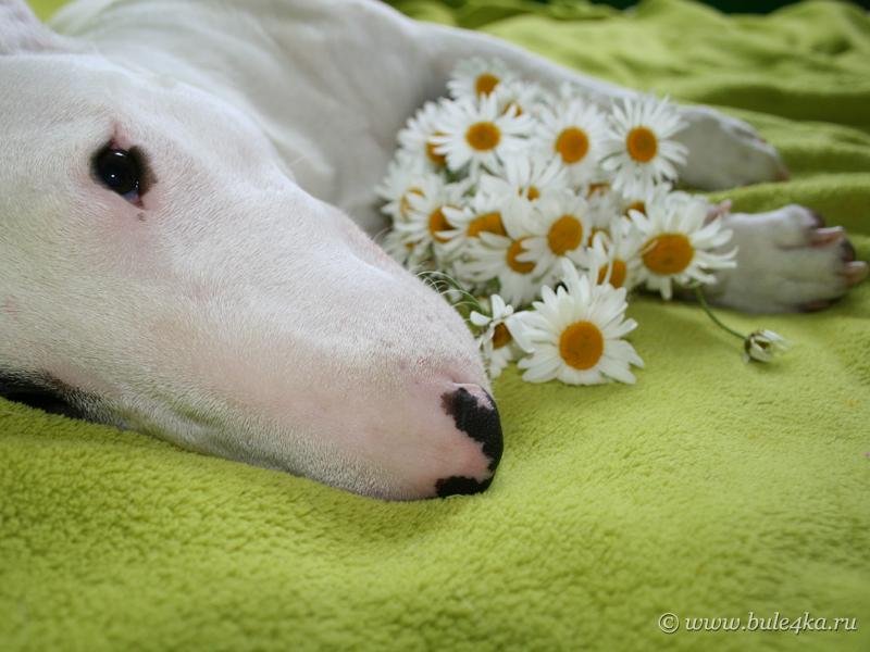 Все самые красивые собаки Мира Bullterrier_with_camomile