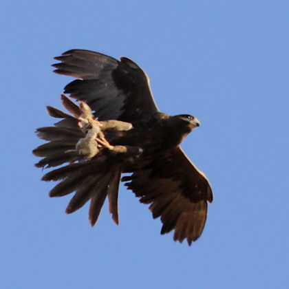 Falconiformes. sub Falconidae - sub fam Falconinae - gênero Falco - Página 3 Black%20falcon%2005