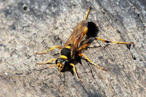 Bộ sưu tập côn trùng 2 - Page 6 Common%20mud-dauber%20wasp%2002