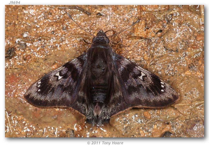 Sưu tập Bộ cánh vẩy 2 - Page 38 Conognathus_platon_per_Lamas_ECUADOR_Napo_Wildlife_Center_Tony_Hoare_10-IV-2011