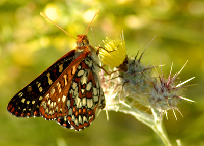 Leptiri Butterfly2