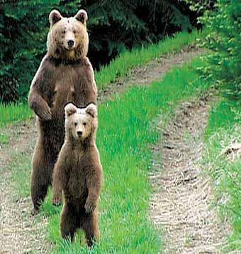 Loups, ours, lynx .... vite le temps presse Ours_michel_tonelli