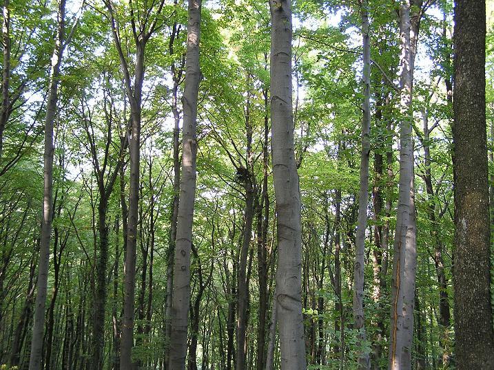 Šume / stabla Stanista%20-%20suma%20visoka