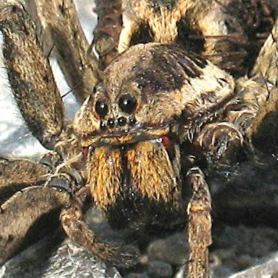 Pauci Tarantula%20glava