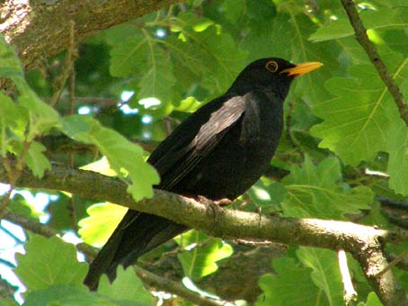 Sve vrste Ptica Kos%20na%20hrastu%201p