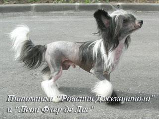 Китайская хохлатая  собака! Dogs_11224549e9c7e545a1bd166a7e052dde