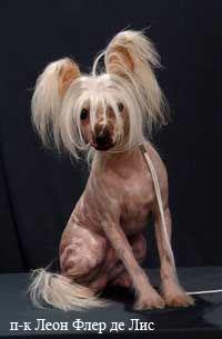 Китайская хохлатая  собака! Dogs_4