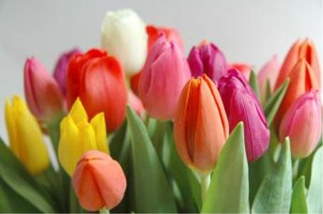 Urime 8 Marsin-dita nderkombetare e grave Tulpan
