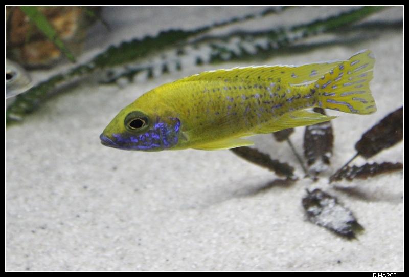 Fischroom Manu  - Page 5 Abaenschinkhomo6