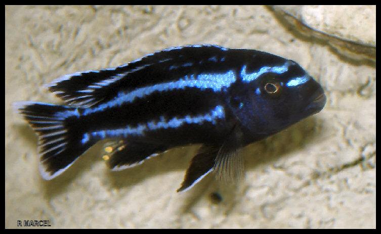 blue - je voudrait savoir si ses un Melanochromis maingano ou Melanochromis johani eletra blue Mjohannif1