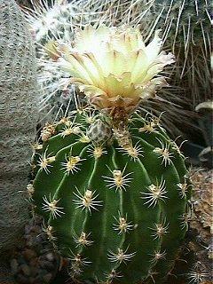 Kaktusi Hamatocactus_1