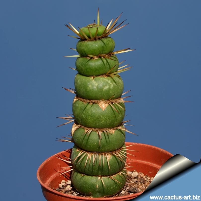 Farces et clowneries de plantes - les plantes font leur rigolote - Page 2 Eulychnia_mostruosa_disc_shaped_810