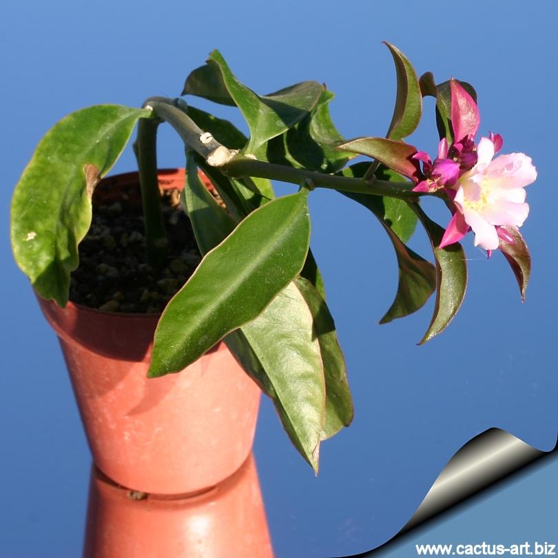 VƯỜN CÂY ĐV II - Page 6 Pereskia_grandiflora_violacea_810