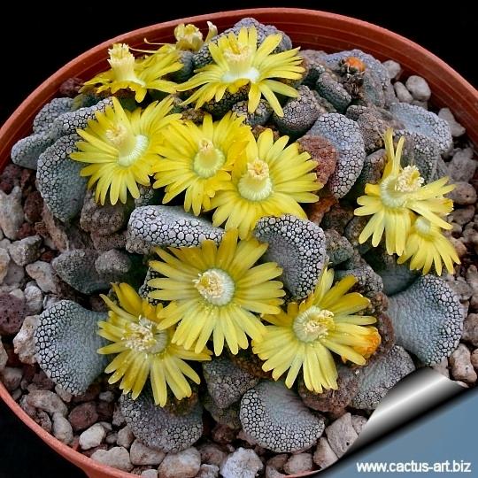 Encore cette année... semis de succulentes! - Page 2 Titanopsis_calcarea_campbel_540