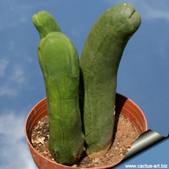 Farces et clowneries de plantes - les plantes font leur rigolote - Page 2 Penis_cactus_540