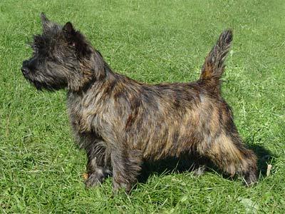 Cairn terrier Tavi400