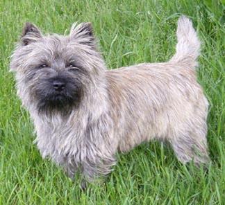 Cairn terrier Monty