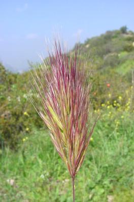 Bromus madritensis Redbrome4