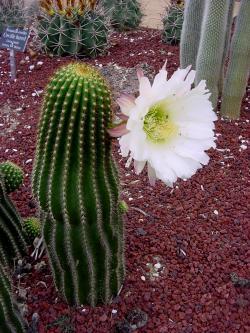 Kaktusi Echinopsis_cultivar