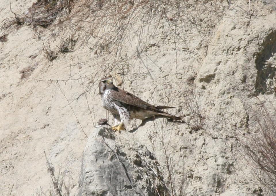 Falconiformes. sub Falconidae - sub fam Falconinae - gênero Falco - Página 2 FalconJan2007LC