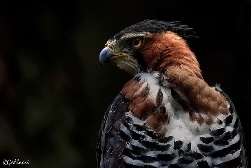Falconiformes. Família  Acciptridae - Subfamília Buteonidade- Gaviões de penacho. genêro SPIZAETUS 2307_08_347_20_22_36