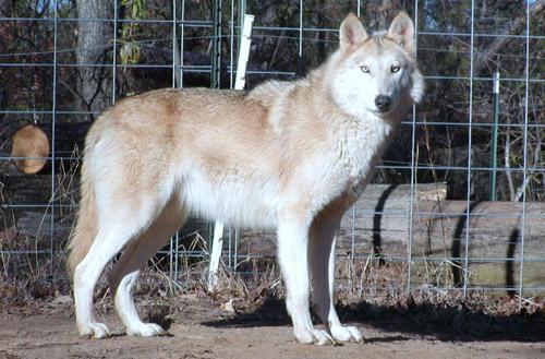 الموسوعة الكاملة للكلبيات Canis-lupus-albus