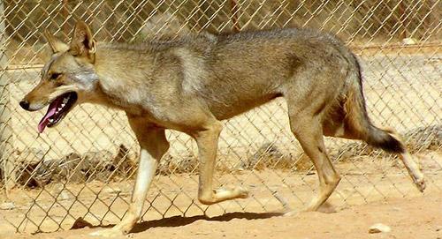 الموسوعة الكاملة للكلبيات Canis-lupus-arabs