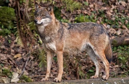 الذئاب الأوروبية  Canis-lupus-lupus
