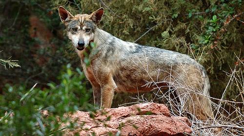 الموسوعة الكاملة للكلبيات Canis-lupus-pallipes